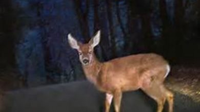 Photo of Oh, Deer, Be Careful Out There!